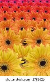 Gerbera daisy color gradient