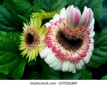 Gerbera Daisy Flori Line Midi Bicolor flowers