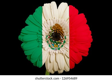 gerbera daisy flower in colors national flag of mexico on black background as concept and symbol of love, beauty, innocence, and positive emotions