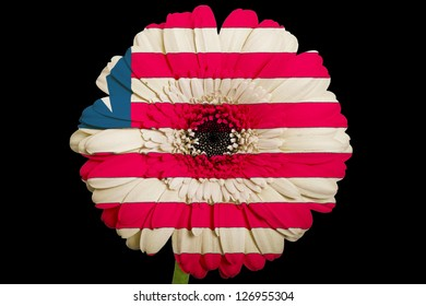 gerbera daisy flower in colors national flag of liberia on black background as concept and symbol of love, beauty, innocence, and positive emotions