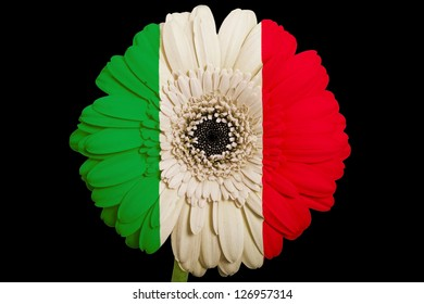 gerbera daisy flower in colors national flag of italy on black background as concept and symbol of love, beauty, innocence, and positive emotions