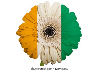 gerbera daisy flower in colors national flag of cote ivore on white background as concept and symbol of love, beauty, innocence, and positive emotions