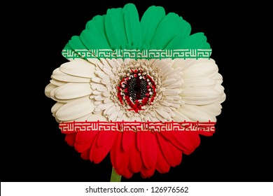 gerbera daisy flower in colors national flag of iran on black background as concept and symbol of love, beauty, innocence, and positive emotions