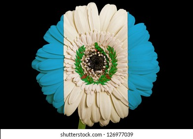 gerbera daisy flower in colors national flag of guatemala on black background as concept and symbol of love, beauty, innocence, and positive emotions