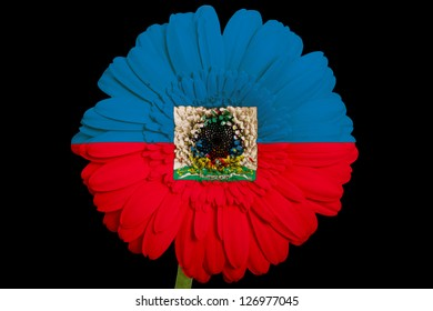 gerbera daisy flower in colors national flag of haiti on black background as concept and symbol of love, beauty, innocence, and positive emotions