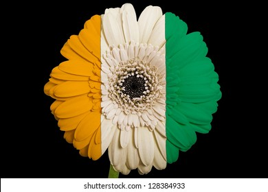 gerbera daisy flower in colors national flag of cote ivore on black background as concept and symbol of love, beauty, innocence, and positive emotions