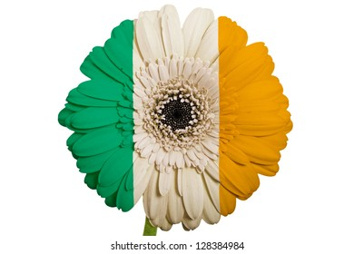 gerbera daisy flower in colors national flag of ireland on white background as concept and symbol of love, beauty, innocence, and positive emotions
