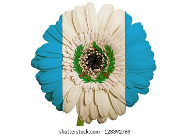 gerbera daisy flower in colors national flag of guatemala on white background as concept and symbol of love, beauty, innocence, and positive emotions