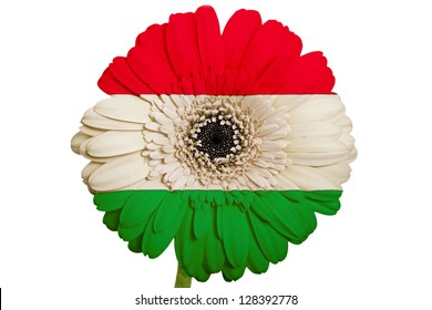 gerbera daisy flower in colors national flag of hungary on white background as concept and symbol of love, beauty, innocence, and positive emotions
