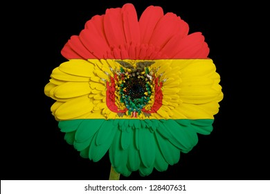 gerbera daisy flower in colors national flag of bolivia on black background as concept and symbol of love, beauty, innocence, and positive emotions