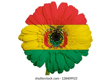 gerbera daisy flower in colors national flag of bolivia on white background as concept and symbol of love, beauty, innocence, and positive emotions