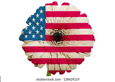 gerbera daisy flower in colors national flag of us on white background as concept and symbol of love, beauty, innocence, and positive emotions