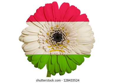gerbera daisy flower in colors national flag of tajikistan on white background as concept and symbol of love, beauty, innocence, and positive emotions