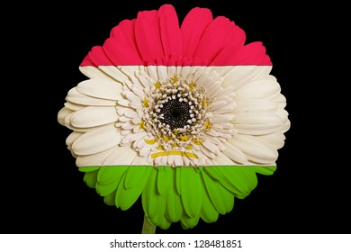 gerbera daisy flower in colors national flag of tajikistan on black background as concept and symbol of love, beauty, innocence, and positive emotions