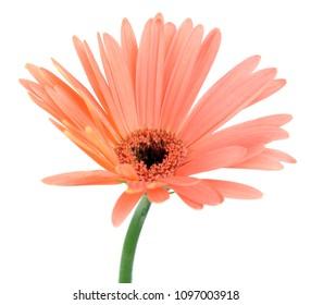 Gerbera Daisy flower isolate on white