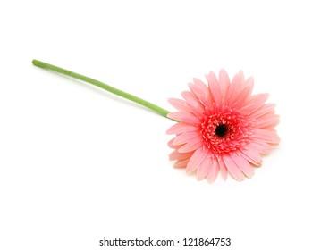 Gerbera daisy flower on white background
