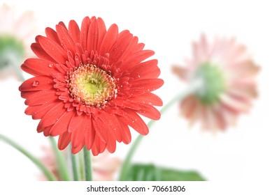 Gerbera Daisy. Focus on the first flower