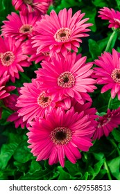 Gerbera Daisy plant with pink flowers in bloom