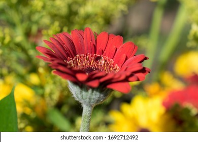 Gerbera daisy and water droplet in sunshine