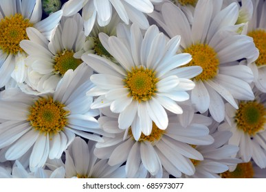gerbera daisy white yellow flower in bloom in spring