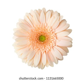 Gerbera  flower of  apricot color  isolated on white background.