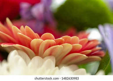 Gerbera Flower, Asteraceae (daisy family) close up with selective focus