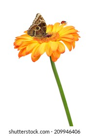 gerbera flower with butterfly and ladybug isolated on white