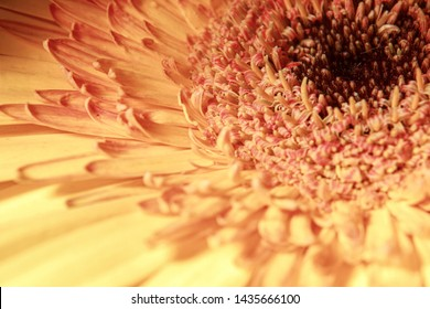 Gerbera flower from close up Asteraceae Mutisioideae