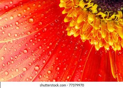 gerbera flower close up background