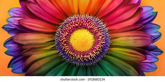 Gerbera flower close up. Macro photography. Postcard multicolored Gerbera Flower. Natural romantic conceptual floral multicolored macro background.