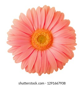 Gerbera flower of coral color isolated on white background.
