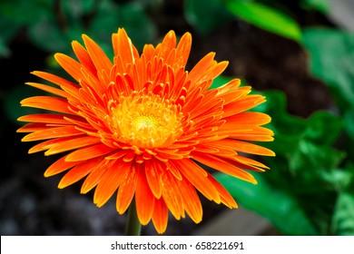 gerbera Flower - gerbera Daisy