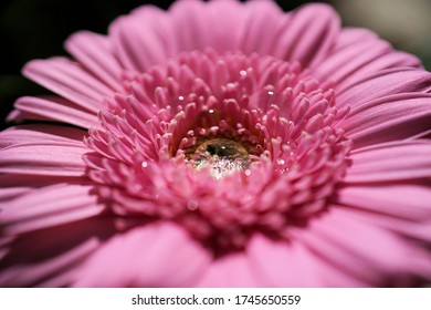 a gerbera flower with a drop of water