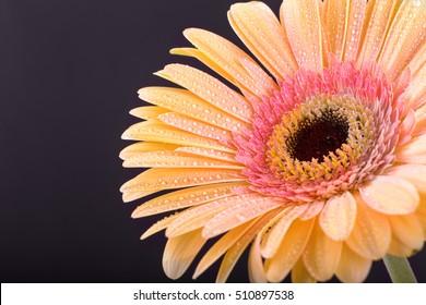 �£ellow Gerbera flower. Drops of dew. Macro. On a black background