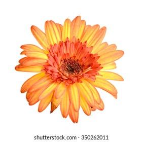 Gerbera flower. Hight res