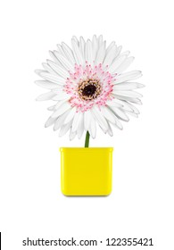 Gerbera flower isolate on white background