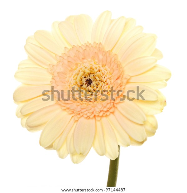 a gerbera flower isolated on white background