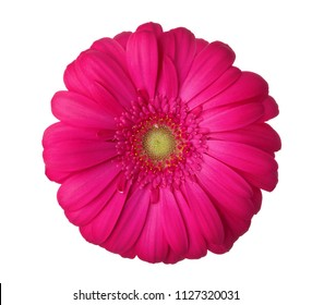 Gerbera flower of magenta color isolated on white background.