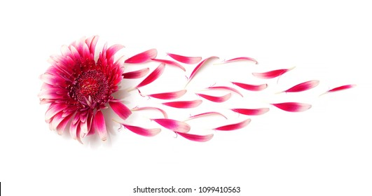 gerbera flower with petals blown off by wind on white background, concept