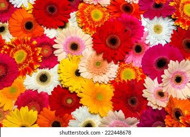Gerbera flower rainbow background