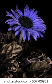 Gerbera flower in reflected UV.