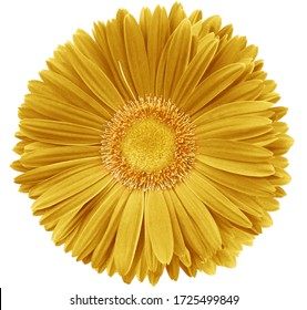 gerbera flower yellow.   Flower isolated on a white background. No shadows with clipping path. Close-up. Nature.
