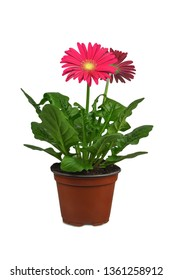 Gerbera in flowerpot isolated on white background