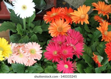 Gerbera flowers display