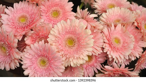gerbera flowers with pink ray florets in a bouquet