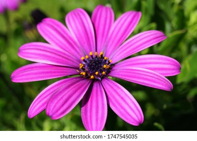 Gerbera jamesonii- (Gerbera Flower) - (African Daisy) the large-leaved pink gerbera flower grows very strongly in Turkey. 5 popular in the world. Flower.