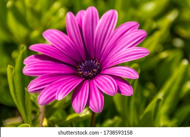 Gerbera jamesonii- (Gerbera Flower)-(African Daisy) the coarse-leaved pink gerbera flower grows a lot in Turkey.5 most popular in the world. flower.