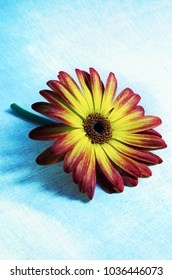 Gerbera on a grunge effect background with copy space.