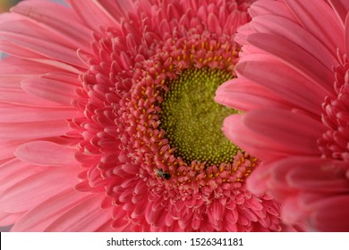 Gerbera is an ornamental plant that belongs to the Asteraceae family. Gerbras are shrubs that live for years, their leaves are elongated, green in color with large jagged leaf edges. Gerbera flower.