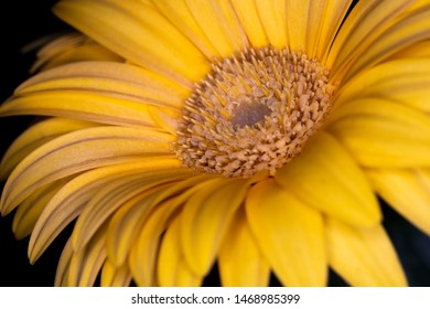 Gerbera yellow flower head, genus of plants in the Asteraceae of the daisy family native to tropical regions of South America, Africa and Asia, macro with shallow depth of field